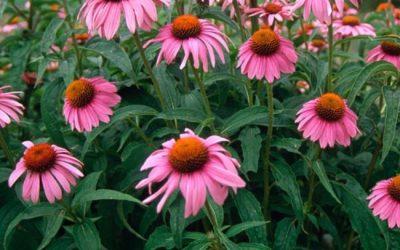Plantas medicinales y nutracéuticos para el sistema inmunitario